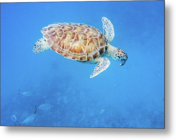 Sea Turtle And Fish Swimming Metal Print