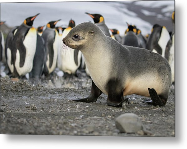Seal Pup With King Penguins On Beach Metal Print by Tom Norring