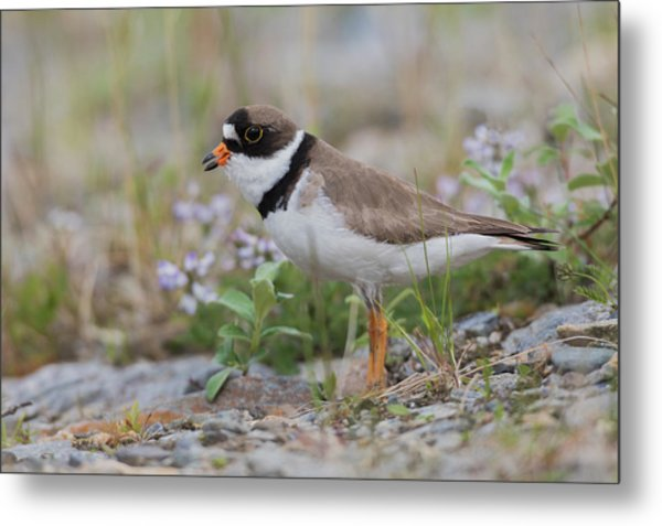 Semipalmated Plover Calling, Creek Bed Metal Print by Ken Archer