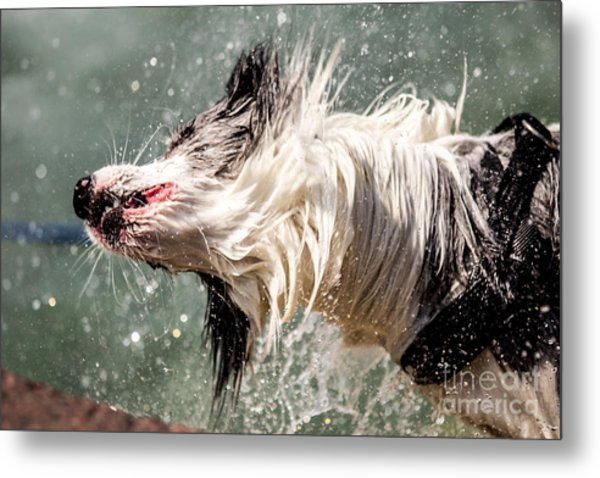 Shaking Dog Metal Print