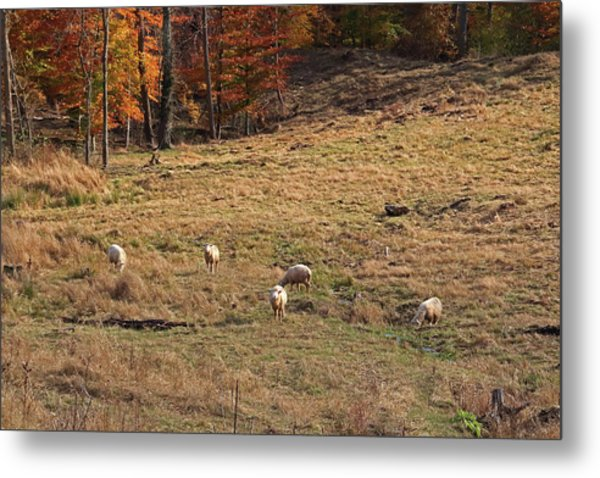 Metal Print featuring the photograph Sheep In A Field by Angela Murdock
