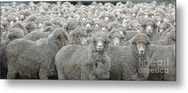 Sheep Looking Metal Print by Lee Torrens