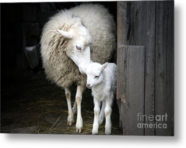 Sheep With A Lamb Standing In The Metal Print