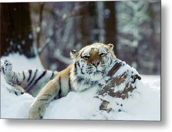 Siberian Tiger At The Bronx Zoo Is Metal Print by New York Daily News Archive