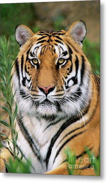 Siberian Tiger Staring Endangered Species Wildlife Rescue Metal Print