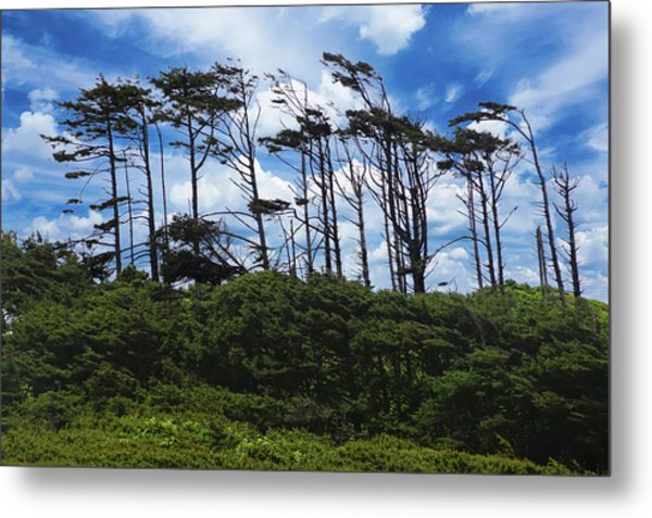 Silhouettes Of Wind Sculpted Krumholz Trees  Metal Print
