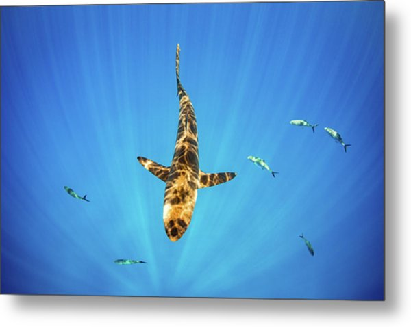 Metal Print featuring the photograph Silky Shark by Nicole Young