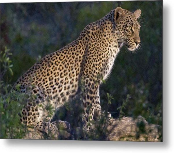 Sitting Leopard Metal Print