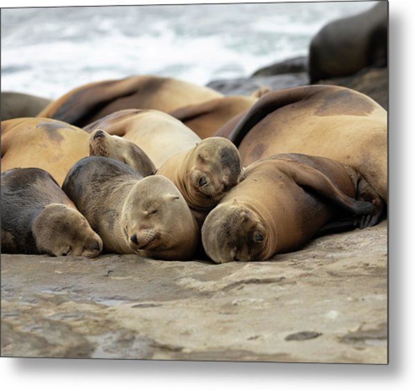 Sleeping Sea Lions Metal Print by K Pegg