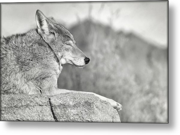 Sleepy Coyote Metal Print