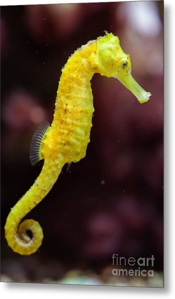 Slender Seahorse Hippocampus Reidi Metal Print