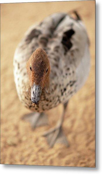 Small Duck On The Farm Metal Print
