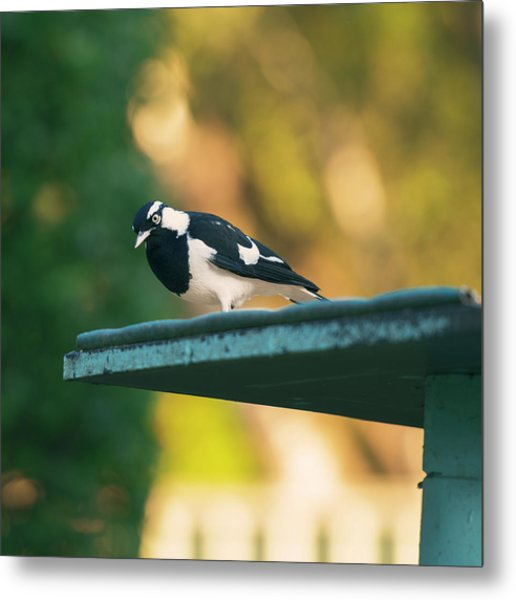 Small Magpie Lark Outside In The Afternoon Metal Print
