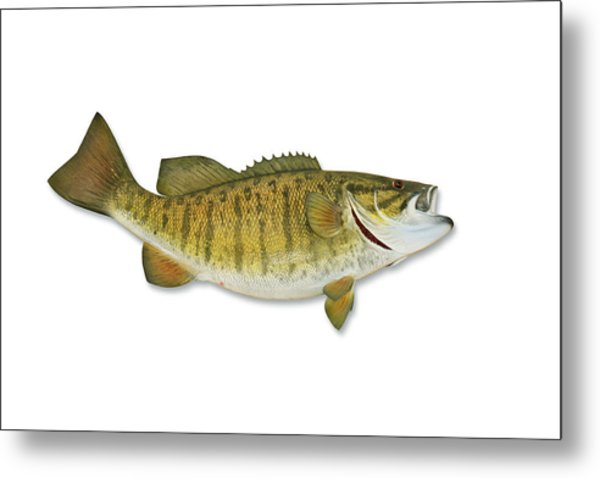 Smallmouth Bass With Clipping Path Metal Print by Georgepeters