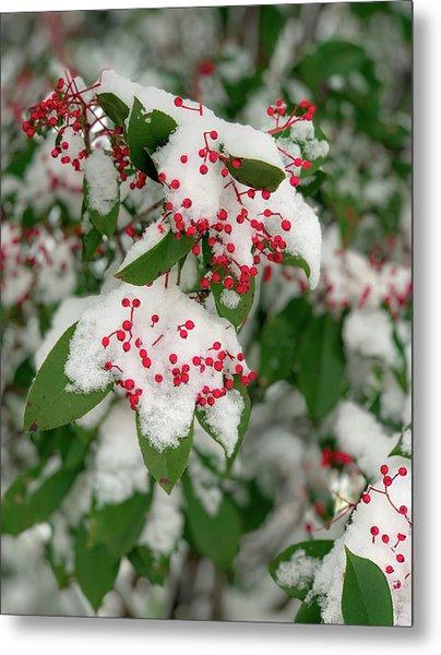 Snow Covered Winter Berries Metal Print