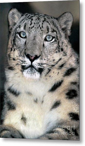 Snow Leopard Portrait Endangered Species Wildlife Rescue Metal Print