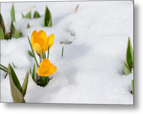 Snowdrops Crocus Flowers In The Snow Metal Print