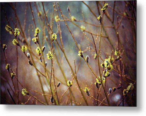 Snowfall On Budding Willows Metal Print