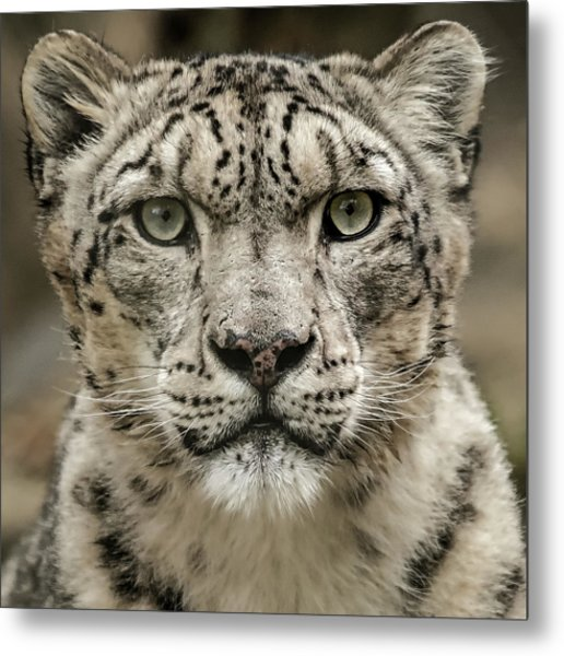 Snowleopardfacial Metal Print
