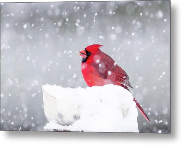 Metal Print featuring the photograph Snowy Cardinal by Lori Coleman