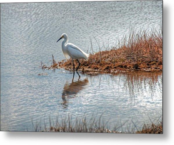 Snowy Egret Hunting A Salt Marsh Metal Print