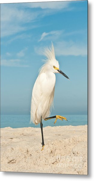 Snowy Egret Standing On Sandy Beach On Metal Print