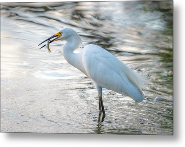 Snowy Egret With Dinner Metal Print