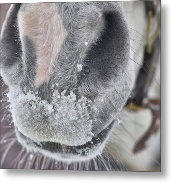Snowy Muzzle  Metal Print by JAMART Photography