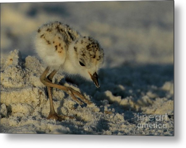 Snowy Plover On The Hunt Metal Print