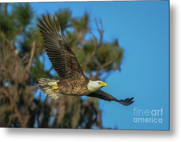 Metal Print featuring the photograph Soaring Eagle by Tom Claud