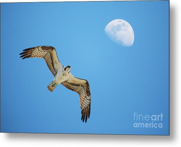 Soaring Osprey And Gibbous Moon Metal Print