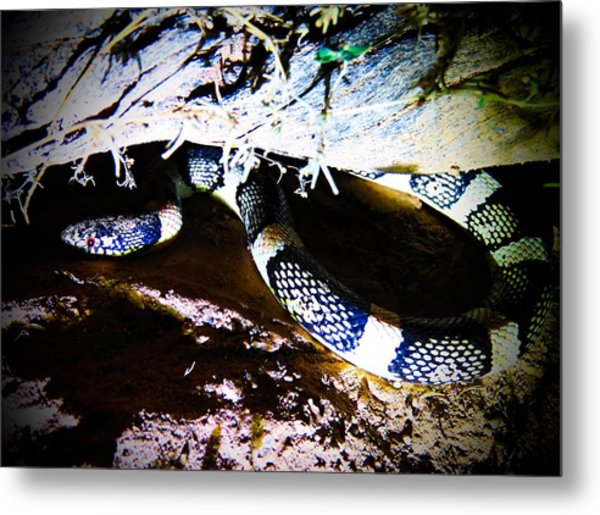 Metal Print featuring the photograph Sonoran Desert Longnosed Snake by Judy Kennedy
