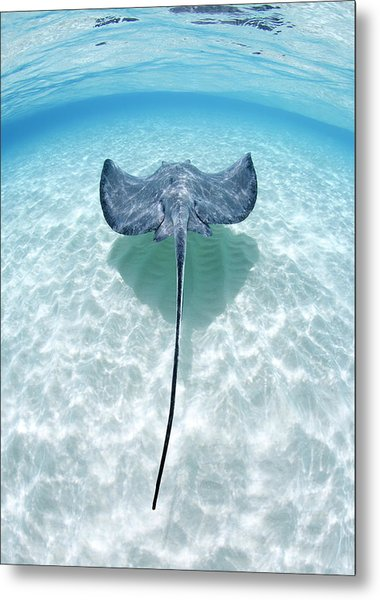 Southern Stingray Cayman Islands Metal Print by Justin Lewis