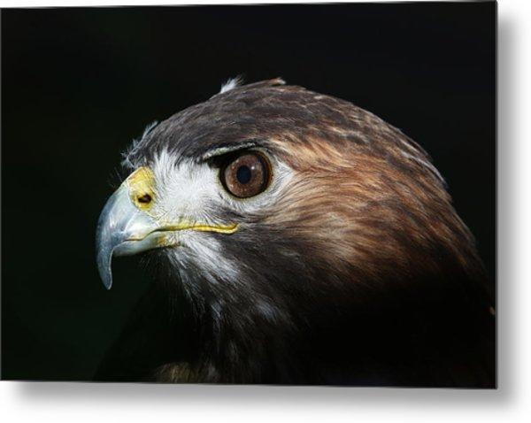 Sparkle In The Eye - Red-tailed Hawk Metal Print