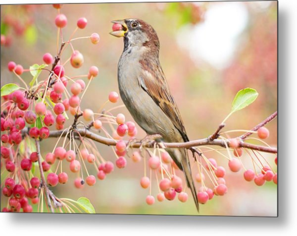 Sparrow Eating Berries Metal Print