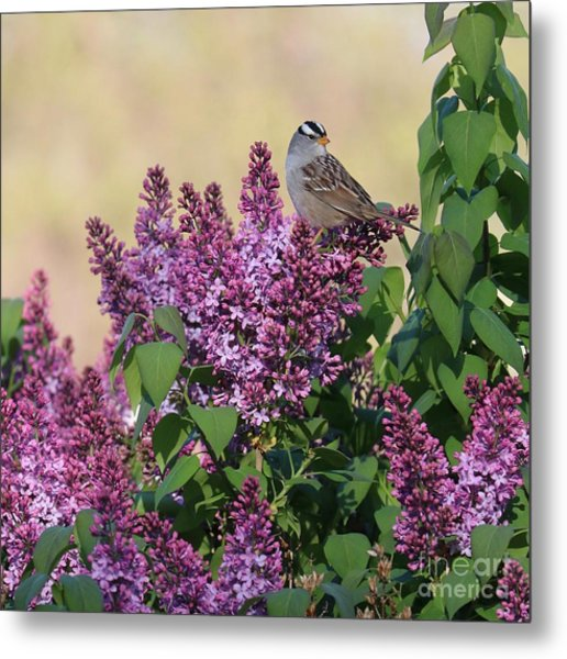 Sparrow In The Lilacs Metal Print