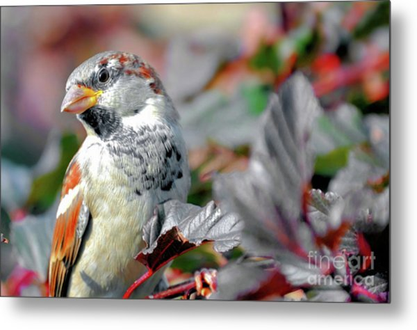 Sparrow Profile Metal Print