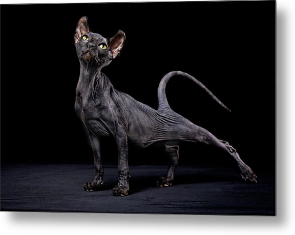Sphynx Cat Metal Print by Alexandra Draghici