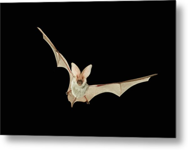 Spotted Bat Euderma Maculatum Flying At Metal Print by Michael Durham/ Minden Pictures