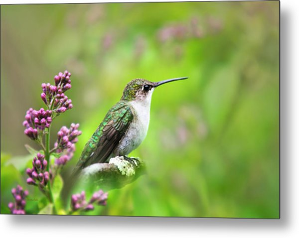 Spring Beauty Ruby Throat Hummingbird Metal Print