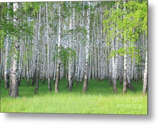 Spring Birch Grove Metal Print by Kirillov Alexey