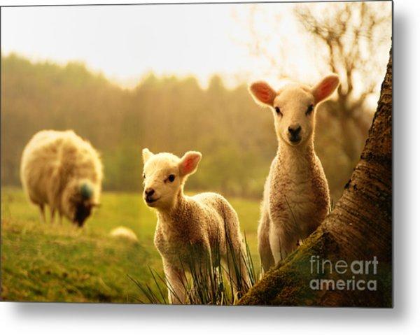 Spring Lambs Metal Print by Drew Rawcliffe