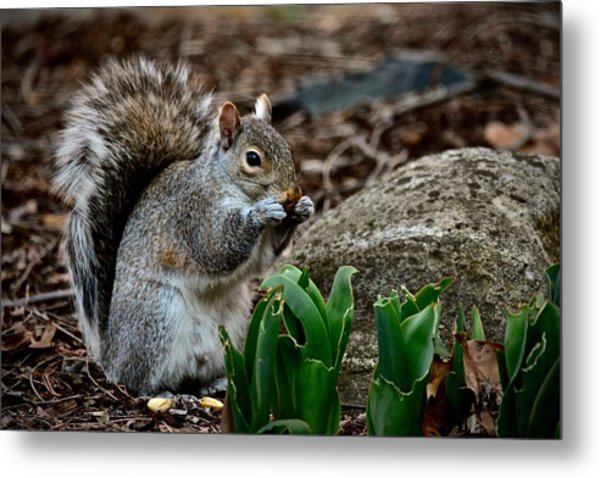 Squirrel And His Dinner Metal Print