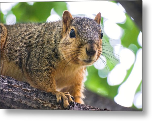 Squirrel Close Up Metal Print