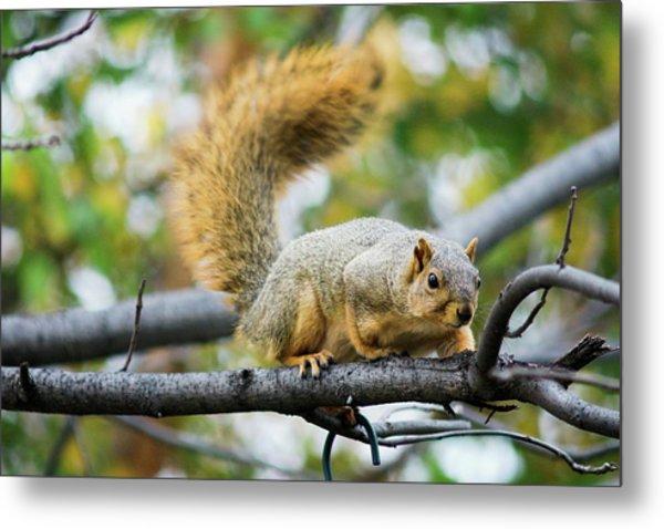 Squirrel Crouching On Tree Limb Metal Print