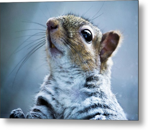 Squirrel With Nose In The Air Metal Print