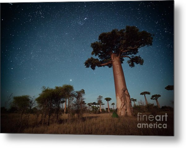 Starry Sky And Baobab Trees Highlighted Metal Print