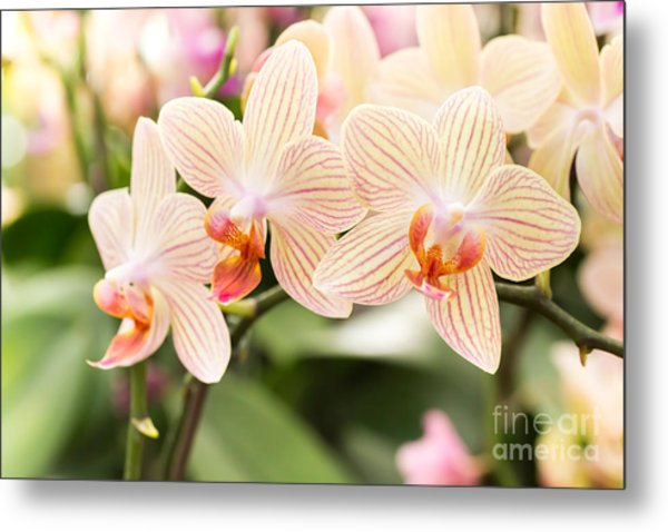 Streaked Orchid Flowers. Beautiful Metal Print