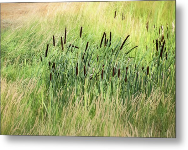 Summer Cattails In Field Of Grass - Metal Print