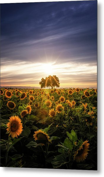 Sunflower Day Metal Print by Vincent James